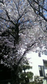 資料館横の桜